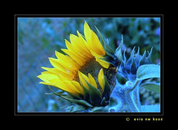sun-flower-bluee