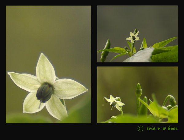 chilli-flower-collage