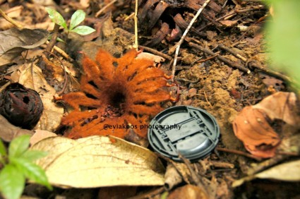 Ini jenis Rafflesia yang lain, di dalam hutan lindung. Belum mekar. Besarnya dibandingkan dengan tutup lensa diameter 72 mm.