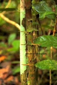 Pohon dengan duri njrongot.