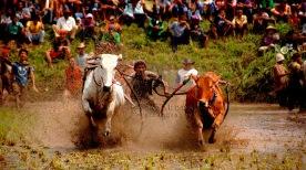 Bull race in West Sumatra