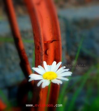 Daisy (Oxeye) / Leucanthemum vulgare