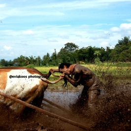 Ada juga yang mengigit ekor sapi supaya larinya kencang