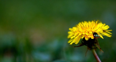 Single dandelion